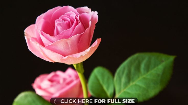 HD Best Pink Roses Backgrounds