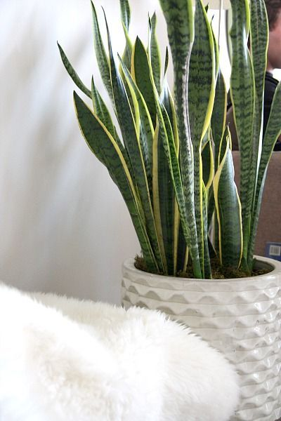 Top 5 Indoor Plants and How to Care for Them Snake Plant-Sansevieria Trifasciata