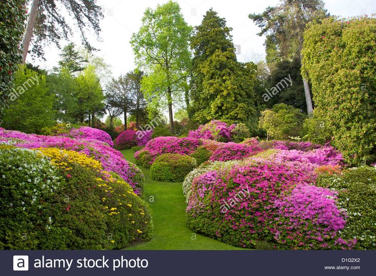 azaleas-in-spring-bloom-gardens-of-villa-carlotta-tremezzo-lake-como-D1G2X2.jpg (1300×957)