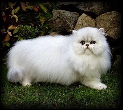 Salah satu tipe kucing yang paling banyak yang berminat yaitu Kucing Persia. Kucing Persia mempunyai bulu yang indah serta amat ideal untuk dijadikan hewan peliharaan. Kucing Persia adalah ciri-cir...