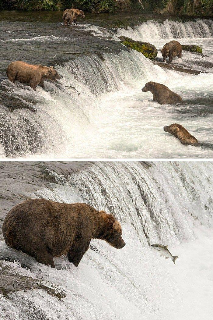 Niedźwiedzie połowu łososia na Alasce!