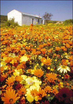 Namaqualand daisies, Western Cape, South Africa. BelAfrique your personal travel planner - www.BelAfrique.com
