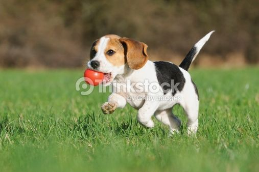 Beagle Puppy 3 Months Stock Photo 176993450