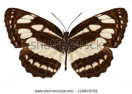 """Butterfly species Neptis hylas """"Common Sailer""""  in high definition with extreme focus isolated on white background"""