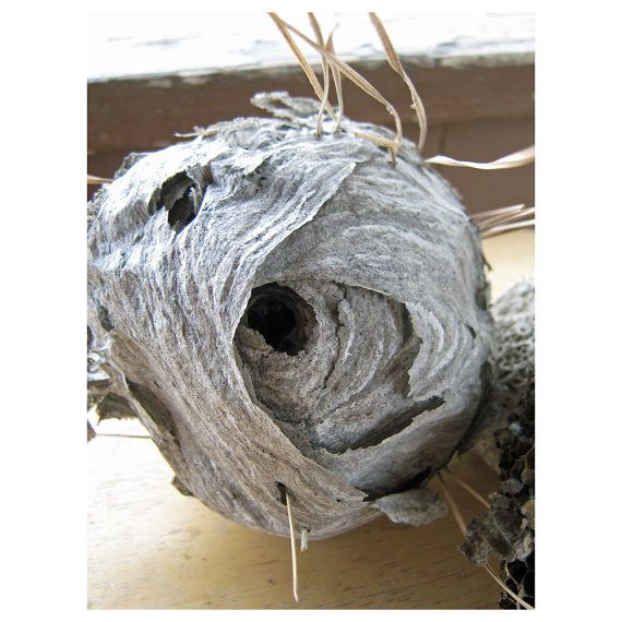 Natural WASP Nest  Study  Science  Teaching Tool by HomeIdaho, $18.00