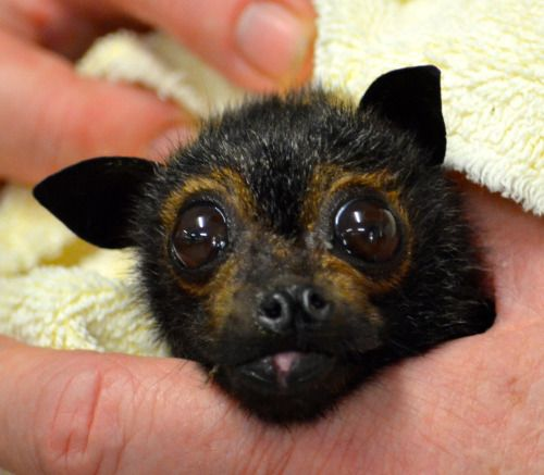 Flying bat baby rescued - The Truth about Bats - good article  -  http://www.houzz.com/photos/74458319/Bats-Trickor-Treat-other