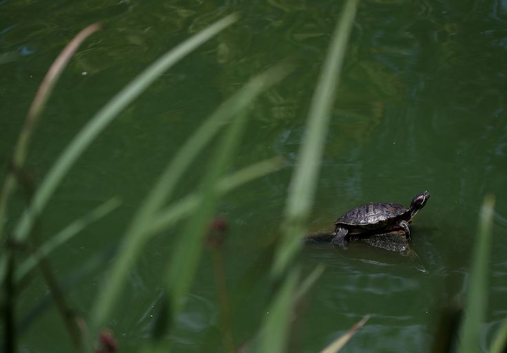 A terrapin sits on a rock at Stow Lake in San Francisco, California on 11 August 2014 - Provided by AFP