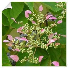 hortensia-trepadeira-rose-sensation