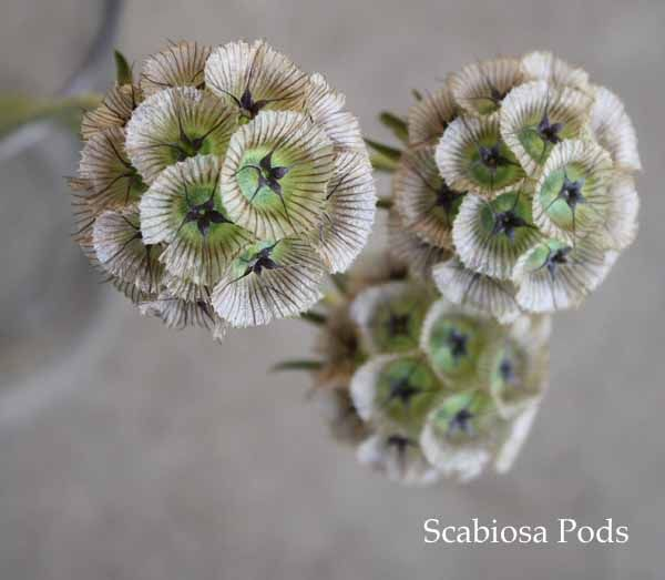 scabiosa-pods add interesting texture & bring in a touch of brown would work well with the twigs