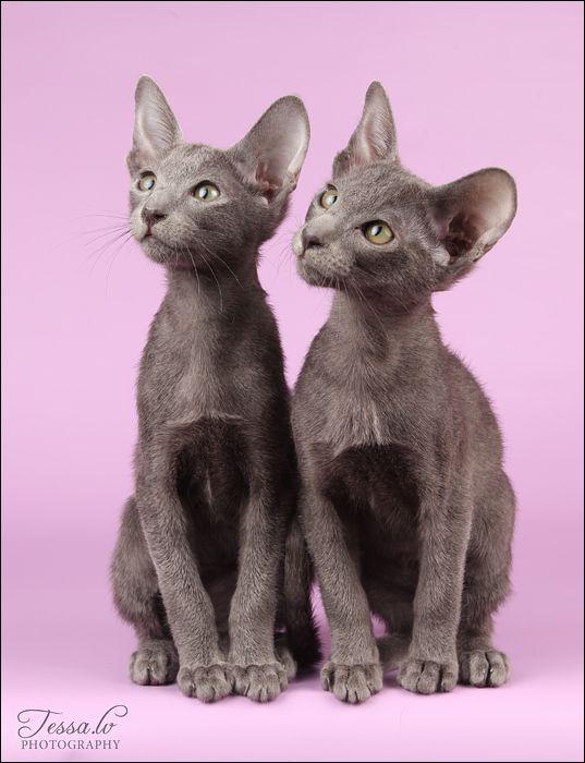 Cutie-pie Oriental Shorthair kittens.