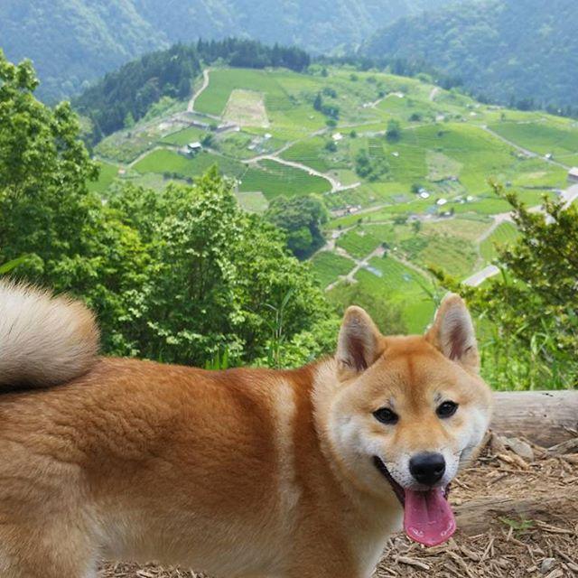 . #柴犬#柴#赤柴 #しばいぬ#しば#しばけん #しばすたぐらむ #シバイヌ#シバ#シバケン #シバスタグラム #日本犬#愛犬 #犬とアウトドア#愛犬とキャンプ #ハイキング#hiking  #sibainu#siba #sibastagram #sibaken  #dogstagram #dog #mydog #mydog🐶  #lovedog #japanesedog