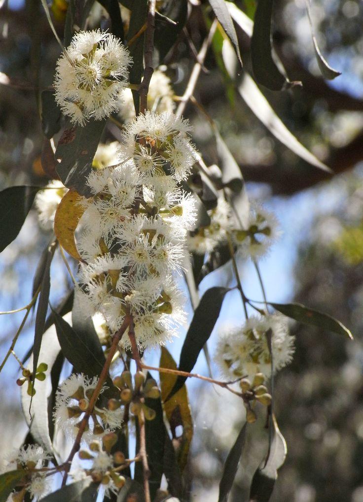 Narrow-leaved Peppermint/Eucalyptus radiata subsp. radiata (Tree) - Full Sun/Part Shade.
