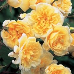 Malvern Hills - David Austin Roses. Shortly to be rambling up the front of my house.