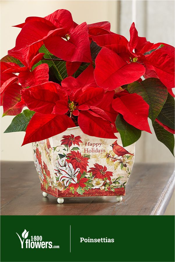 Poinsettias Are A Seasonal Favorite Making Them A Great Addition To Your Home Or A Gift Christmas Flowers Centerpieces Christmas Flowers Red Christmas Flower
