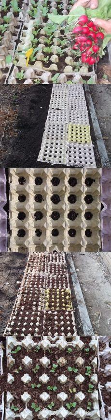 Редиска в яичных кассетах. Никакой прополки и мульчировать не надо - только полив!