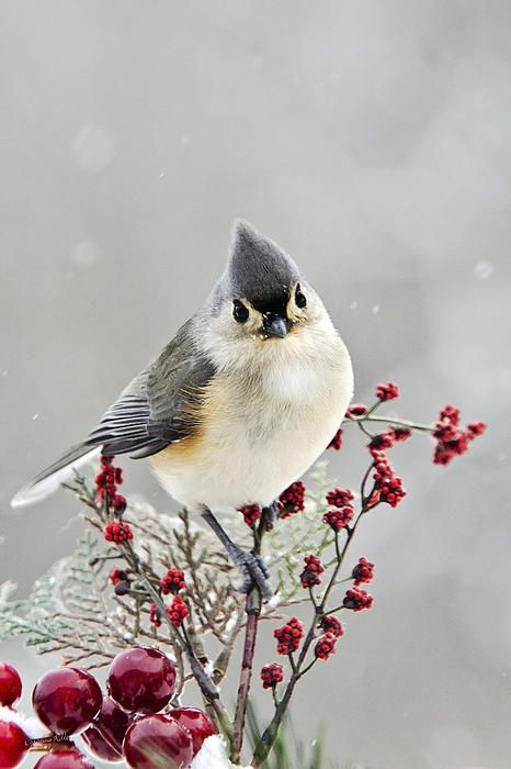 Cute Winter Bird - Tufted Titmouse by Christina Rollo © www.rollosphotos.com. Close-up of a cute Tufted Titmouse perched on red and green holiday decorations in a winter.