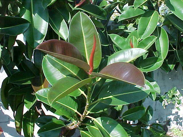 Ficus elastica gondozása