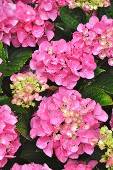 Endless Summer Hydrangea - can be blue or pink depending on your soil.