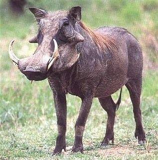 Warthog, Alldays and Kruger National Park, South Africa