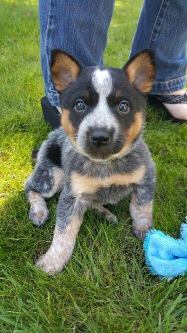 Cutest puppy ever! Blue heeler puppy named Rambo. #blueheeler #cute #puppy…