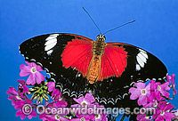 Red Lacewing Butterfly Cethosia biblis image