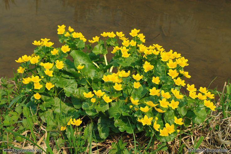 Název: Blatouch bahenní Latin. název: Caltha palustris Čeleď: pryskyřníkovité Latin. čeleď: Ranunculaceae