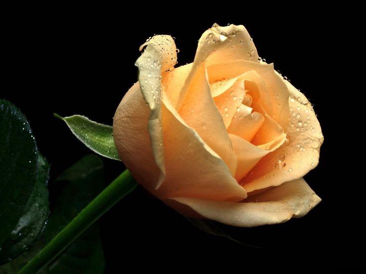 1600x1200 Обои роза, цветок, капли, свежесть, черный фон