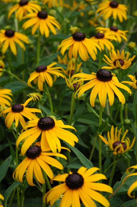 "Black Eyed Susan / Goldsturm Coneflower    Rudbeckia fulgida ""Goldsturm""  Height: 30 inches    Spread: 24 inches    Sunlight:  full sun     Hardiness Zone: 3    Other Names: Orange Coneflower, Black Eyed Susan"