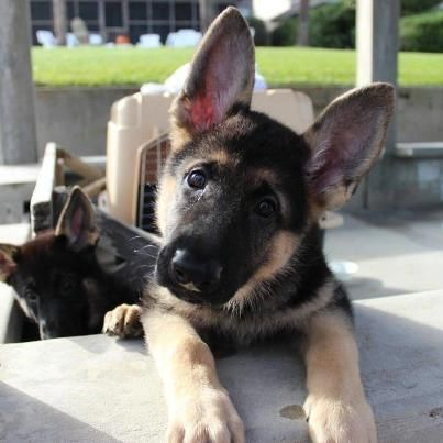German Shepherd Always Alert Perros Cachorros Animales Bonitos Y Cachorros