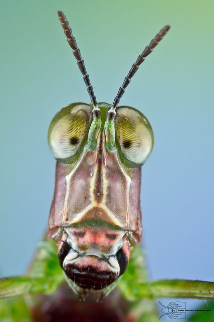 Monkey Grasshopper - Eumastacidae #etologiarelazionale - The ethology of emotions and empathy