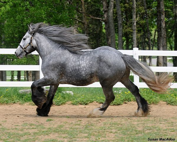 Beautiful Most Arabian Horse Ever Gypsy Horse This Is