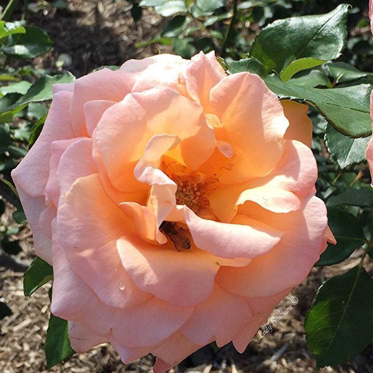 New Farm Park Rose Gardens- Apricot Rose