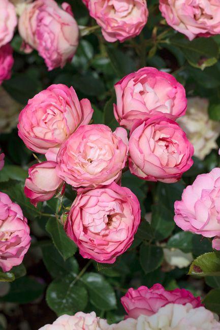 rose acropolis meilland international rosiers de. Black Bedroom Furniture Sets. Home Design Ideas