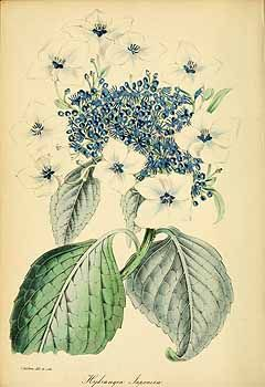 189348 Hydrangea japonica Siebold / Magazine of botany and register of flowering plants [J. Paxton], vol. 12: p. 199 (1839) [S. Holden]