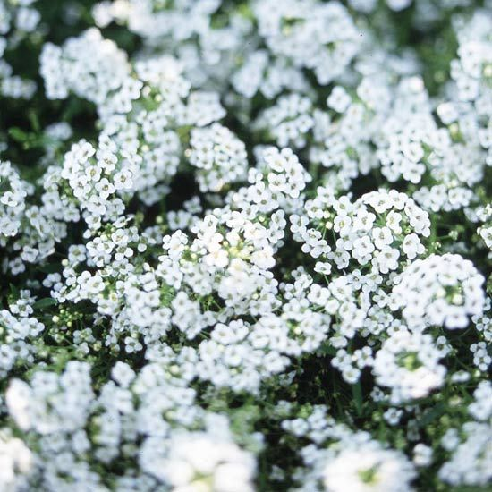 Sweet Alyssum-best in smell-Known for its carpet of lightly fragrant flowers in white, rose, lavender, or purple, sweet alyssum is an easy-to-grow, low-maintenance cool-season annual. Rarely growing more than 6 inches tall and 1 foot wide, sweet alyssum is a good addition to edgings, beds, rock gardens, hanging baskets, and window boxes