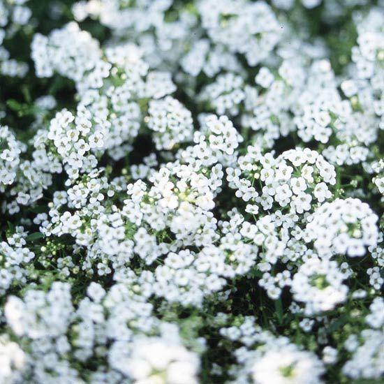 Hemos seleccionado las mejores flores para perfumar tu jardín y que puedes consultar a continuación.