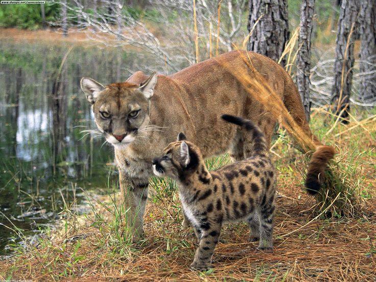 Florida Panther | Florida Panther: Florida Panthers are Going EXTINCT!!!!!
