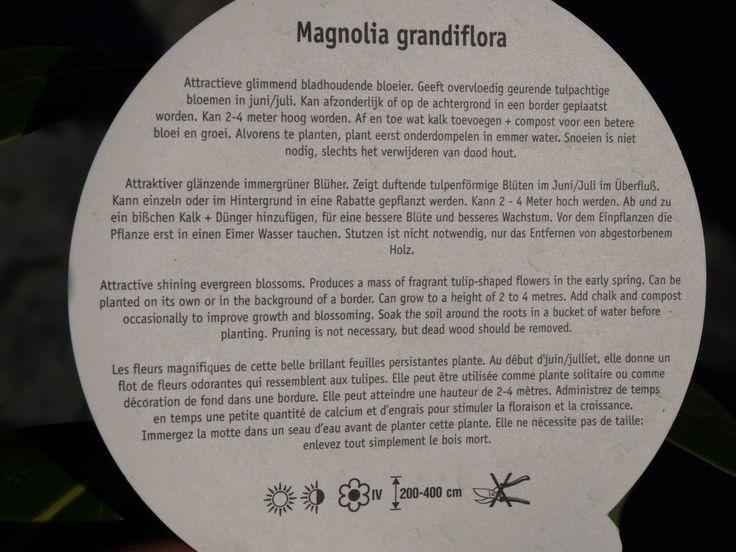 Magnólia veľkokvetá | Magnolia grandiflora - Záhradníctvo ABIES