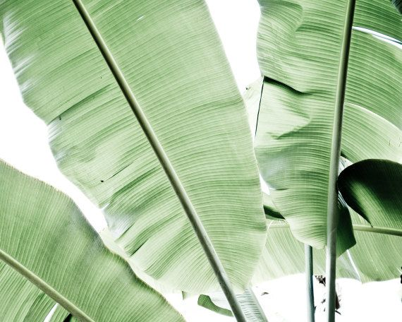 Botanical photography  - Pale green photograph simple green leaves minimal white modern art photography  8x10 - Musa leaves