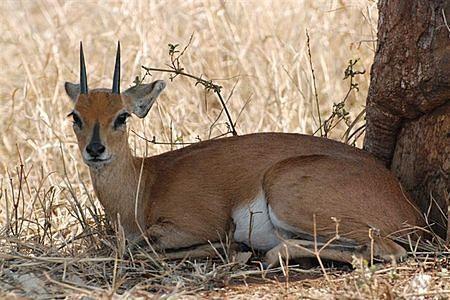 oribi animal - Google Search