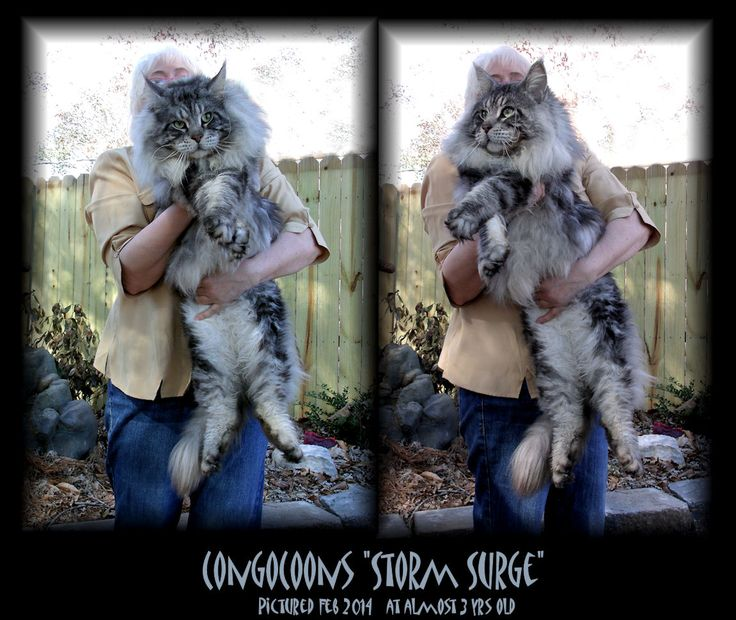 Maine Coon Congocoon. I swore I'd never have another cat in my house, but these are awesome. Wouldn't look forward to litter box duty.