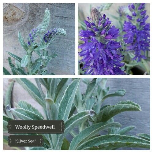 """Woolly Speedwell """"Silver Sea"""" offers a bright contrast with grey/green foliage"""