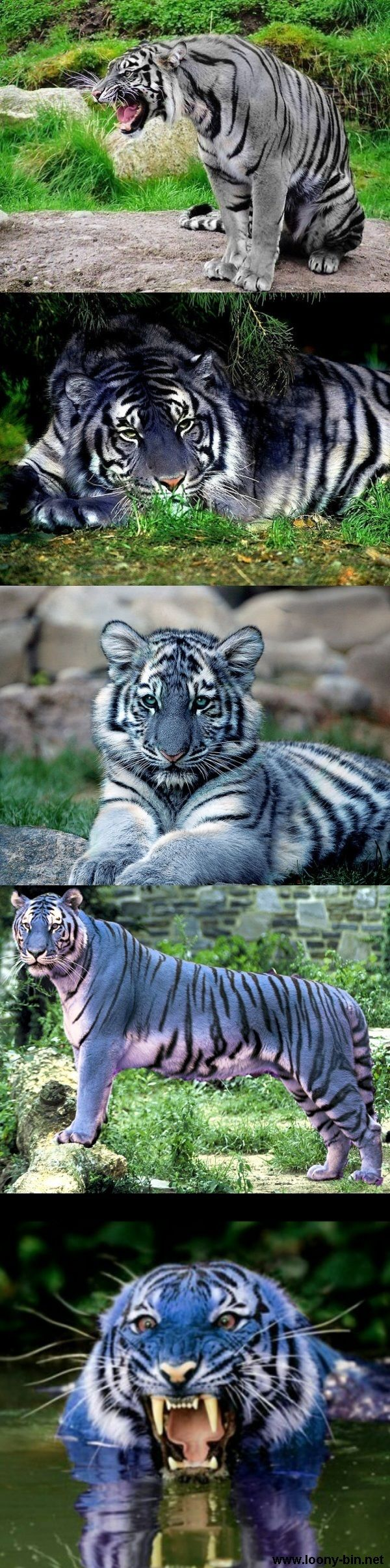 "Maltese Blue Tiger. Om people are seriously dumb. These aren't real. Or at last they've never been proven, and the last ""sighting "" was in the 20's. These are Photoshopped or dyed. Stop spreading ridiculousness."
