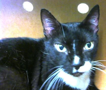 Petango.com – Meet Spottie, a 12 years Domestic Shorthair / Mix available for adoption in DECATUR, GA