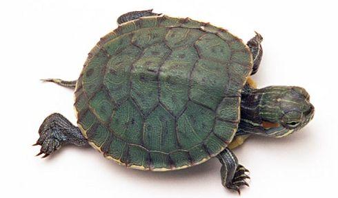 hayvankolik-kaplumbağa