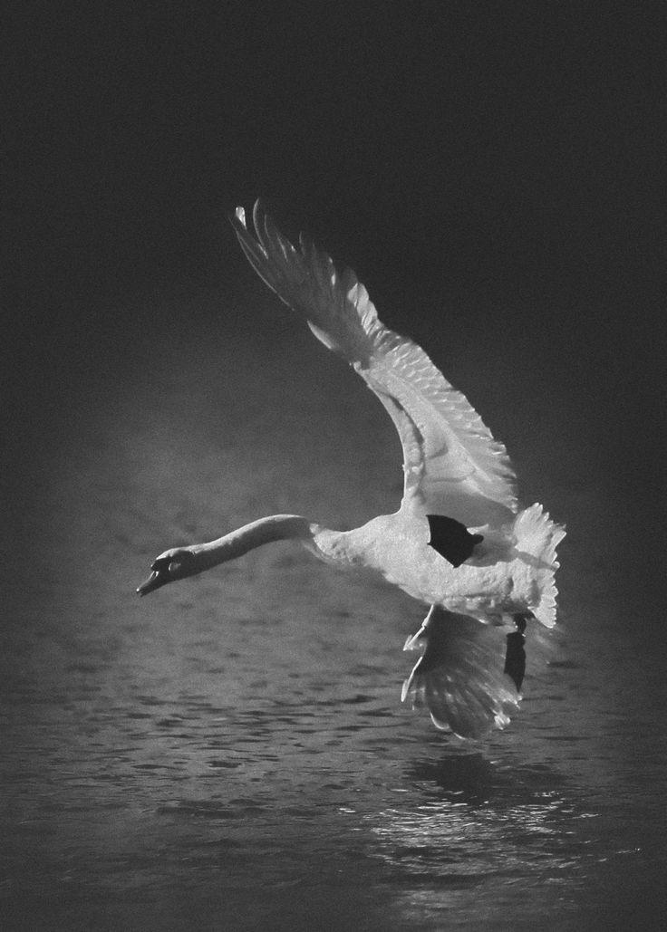 U-Turn - U-turn of swan
