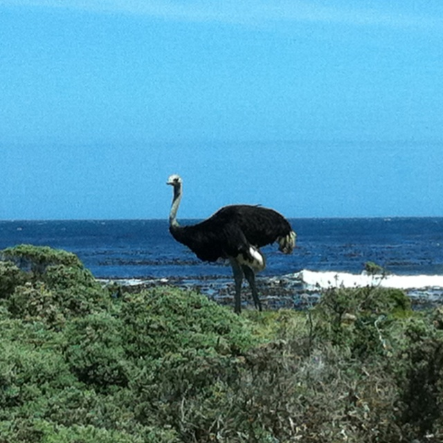 An ostrich by the sea ... And no, it's not lost ...