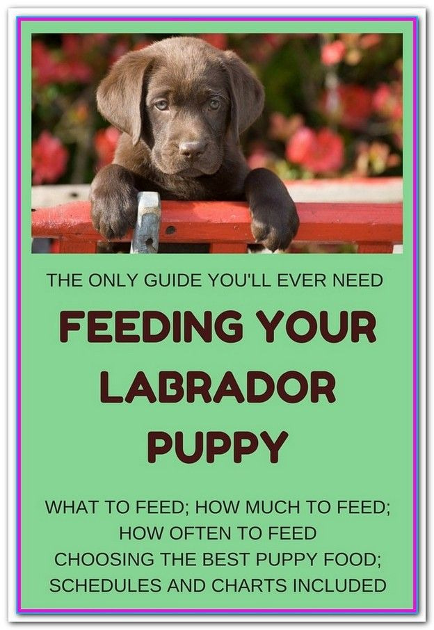 What S The Best Dog Food For Labs Labrador Puppy Puppy Feeding
