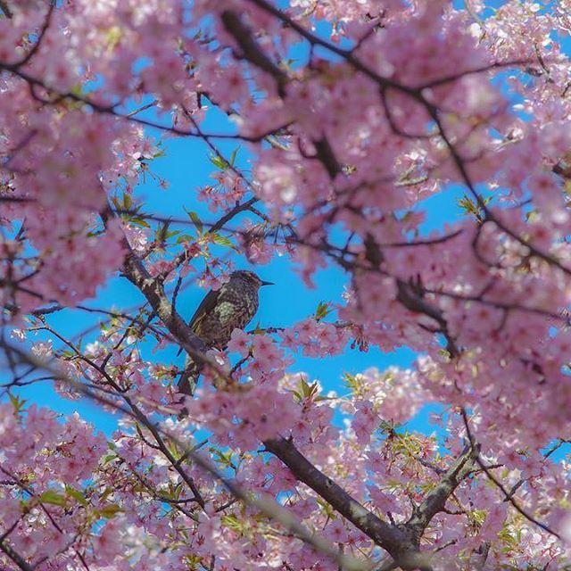 【kazk1ng】さんのInstagramをピンしています。 《こっち向いてよねーぇ🐦 #工藤静香#ヒヨドリ#鵯#bird#ムクドリ#じゃない方#cherryblossom#cherryblossoms #sakura #japan#igers#igersjp#icu_japan#flowers_shotz#flower#flowers#landscape#instagood#instagramers#instagrammer#kanagawagraffiti#team_jp_#team_jp_flower#写真を撮るのが好きな人と繋がりたい#写真好きな人と繋がりたい#写真撮ってる人と繋がりたい》
