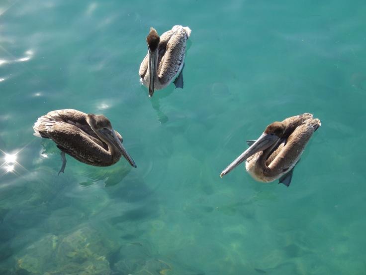 Pelicans, Sailfish Marina, Palm Beach Shores, Florida